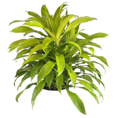 Indoor plant gallery houston plants for sale leasing for Indoor green plants images