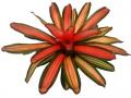 Bromeliad Neoregelia Devroe  - office plants Houston TX