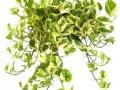Pothos n-joy  - office plants Houston TX