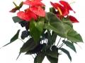 Anthurium red  - office plants Houston TX