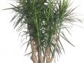 Dracaena Cincta-Marginata Stump  - office plants Houston TX