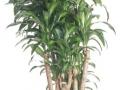 Dracaena Fragrans Massangeana Stump  - office plants Houston TX