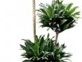 Drac. JC. Compacta Cane Topiary  - office plants Houston TX