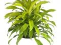 Dracaena Lime-Light  - office plants Houston TX