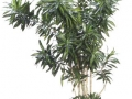 Dracaena Reflexa  - office plants Houston TX