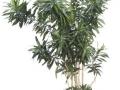 Dracaena Reflexa  - office plants Houston TX
