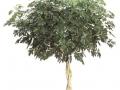Schefflera Arboricola Braid  - office plants Houston TX