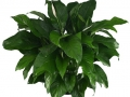 Spathiphyllum Lauretta  - office plants Houston TX