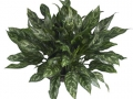 Aglaonema Gemini - office plants Houston TX