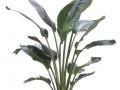 Bird of paradise white  - office plants Houston TX