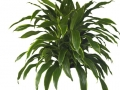 Dracaena art - carmen  - office plants Houston TX