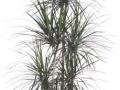 Dracaena cincta cane - Marginata  - office plants Houston TX