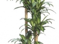 Dracaena fragrans massangeana cane  - office plants Houston TX