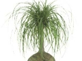 pony tail palm - beaucarnea  - office plants Houston TX