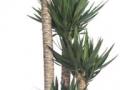 yucca spineless cane  - office plants Houston TX