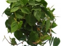 Philodendron cordatum  - office plants Houston TX