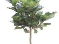Ficus Lyrata Standard  - office plants Houston TX