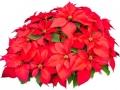 Poinsettia Red  - office plants Houston TX