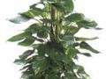 Pothos Golden Totem  - office plants Houston TX