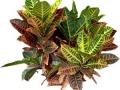 Croton Norma