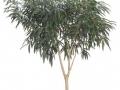 Ficus alii standard  - office plants Houston TX