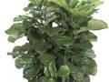 Ficus lyrata bush  - office plants Houston TX