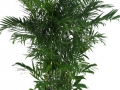 Palm Bamboo Seifritzii  - office plants Houston TX