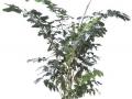 Fishtail Palm  - office plants Houston TX