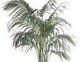 Kentia Palm  - office plants Houston TX